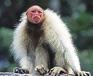 macaco-ingles-da-amazonia-biodiversidade-araquem-alcantara.jpg